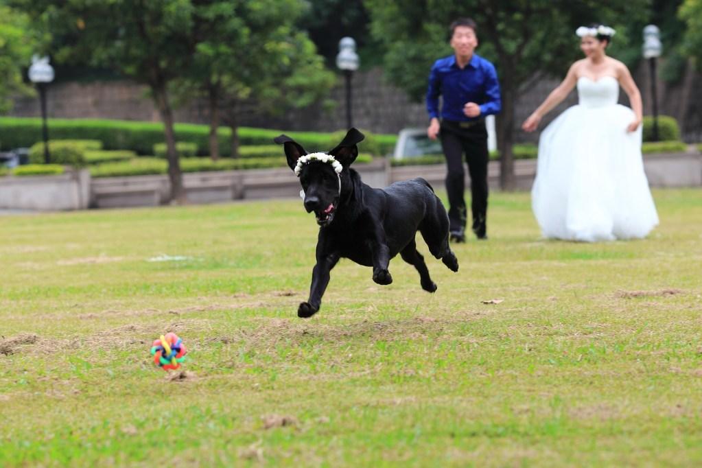 the black dog, labrador, lawn