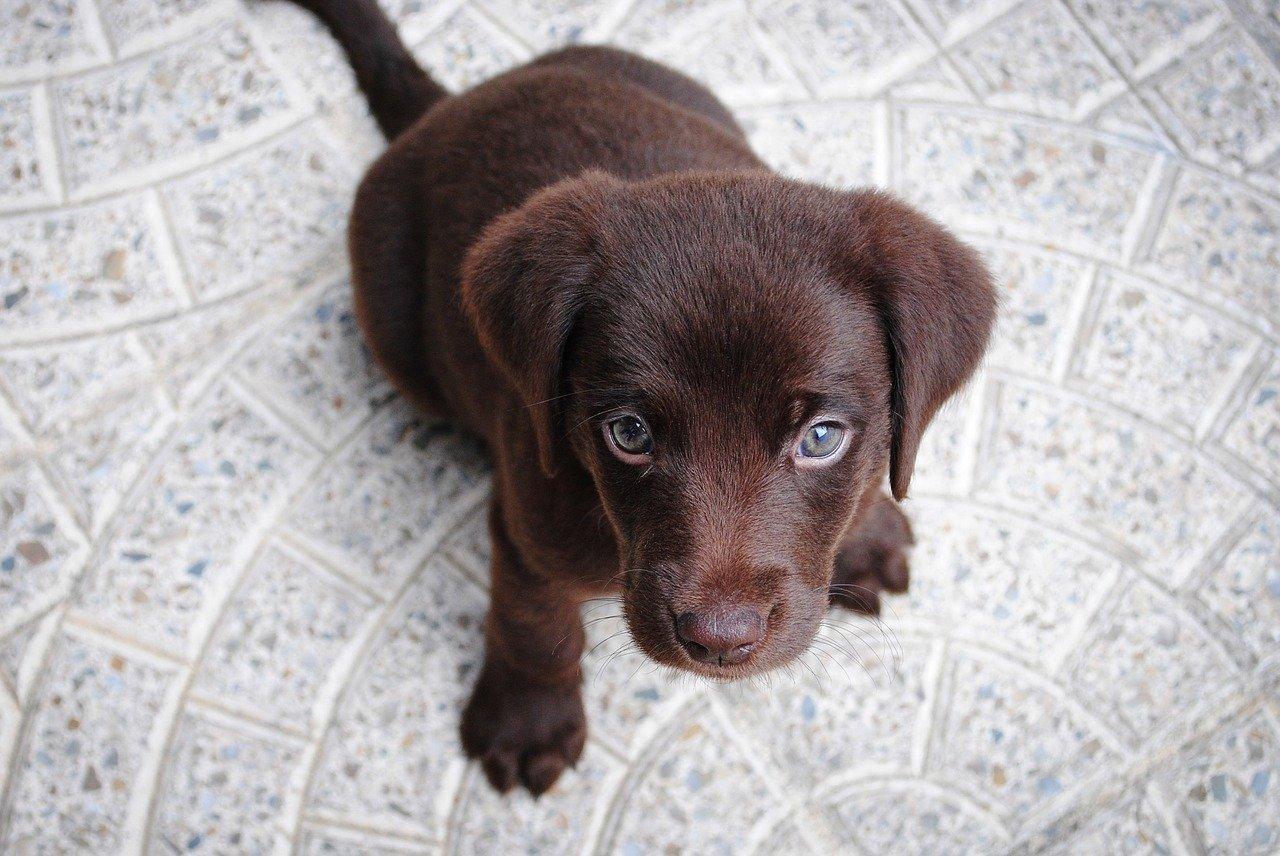 puppy, labrador, purebred